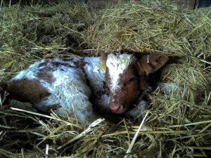 Annies calf